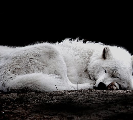 Amazing Wolf: Most Amazing Animals Photos