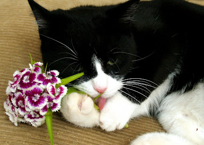 Artemis chewing sweet William... by Dr. Hemmert from flickr (CC-ND)