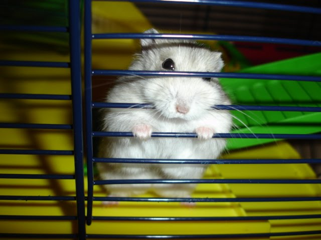 Russian Dwarf Hamster Winter White by cdrussorusso from flickr (CC-BY)