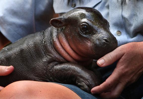 Cute Baby Hedgehog Wallpaper Jungle Life Hippo Amp Hippo New Born Babys Pics Amp Wallpapers