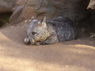 laura in australien k nguruhs koalas wobats schnabeltier. Black Bedroom Furniture Sets. Home Design Ideas