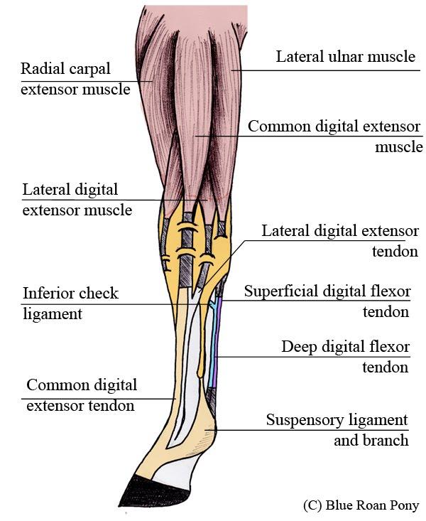 Tendons In Leg 54