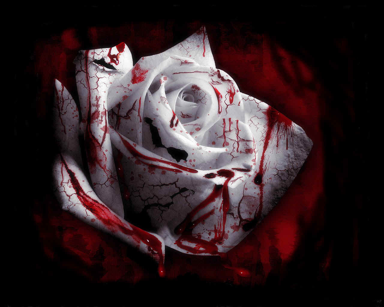 Blood Rose Wallpaper