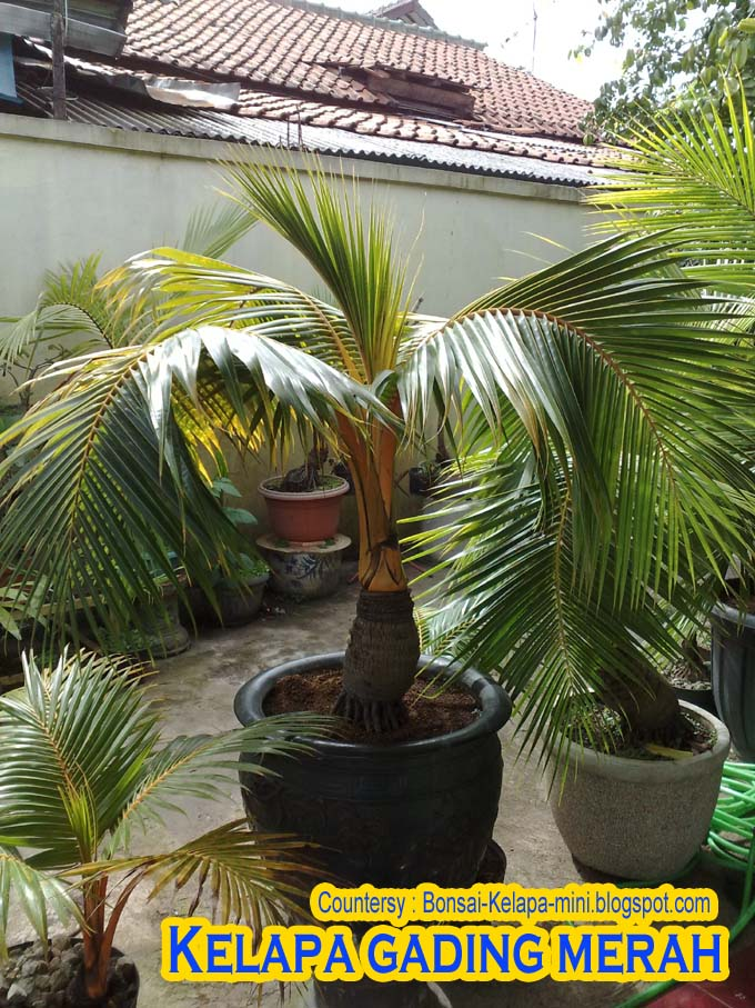 The Best Bonsai Red Ivory Palm Bonsai