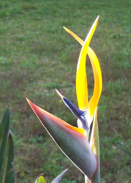 teresa schultz south africa national flower strelitzia or protea