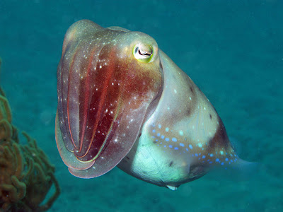 A cuttlefish spotted at Lizard Island. Photo John Huisman, Murdoch University, 2008