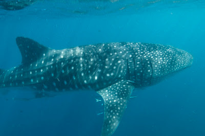 Whale shark, Rhincodon typus, Ningaloo Reef. Photo Gary Cranitch, Queensland Museum, 2008