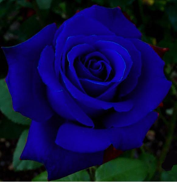FEMME AMOUREUSE¸.•*¨*•♥: Rosas azuis... Rosas Misteriosas...