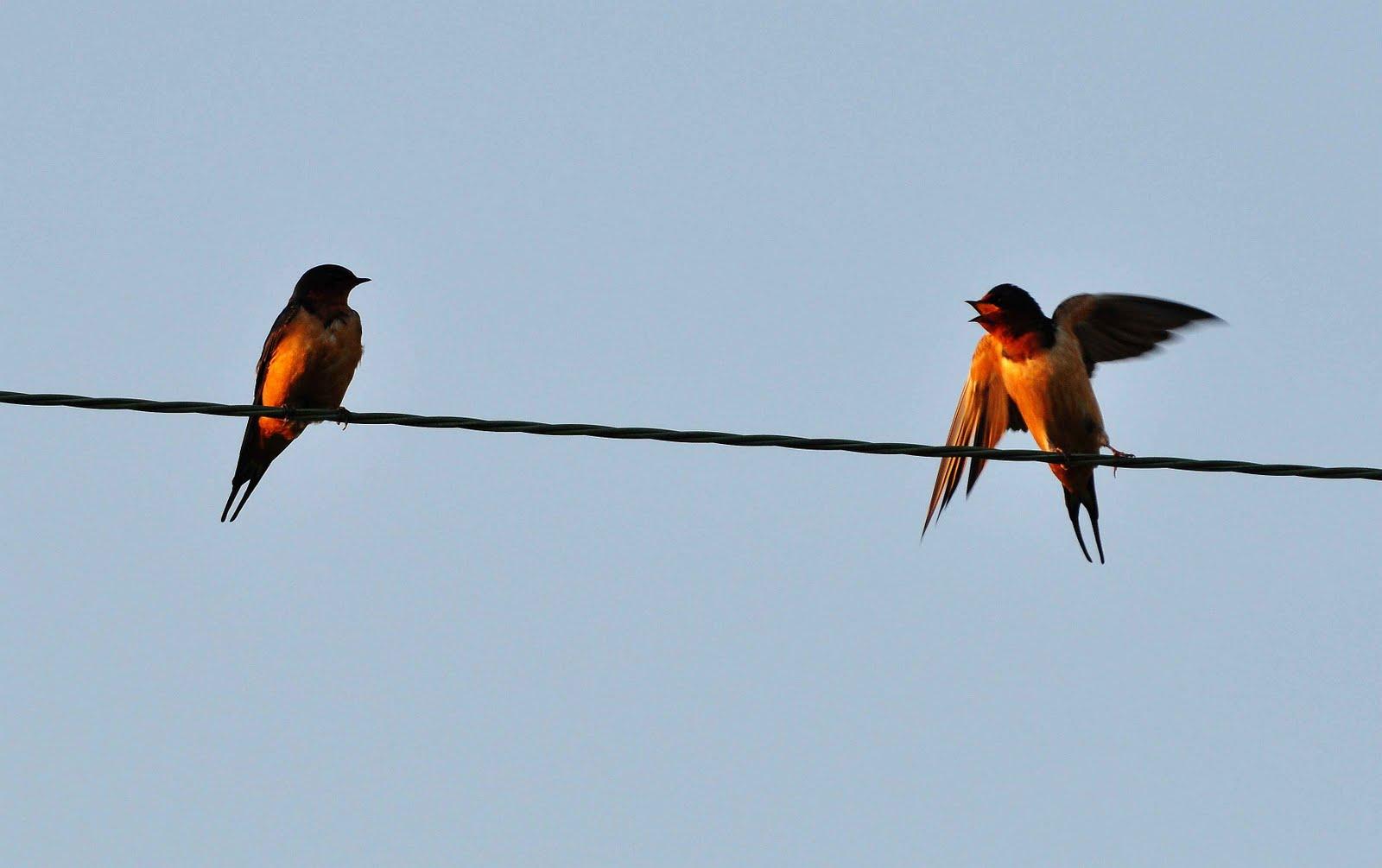 Nikon Sniper Barn Swallows Catching Bugs