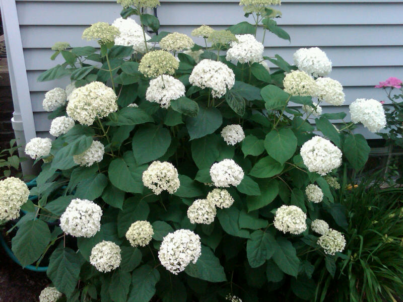 This Was My Very First Hydrangea And It Always Does Great Is Bright White At Then Turns Solid Le Green Just Beautiful