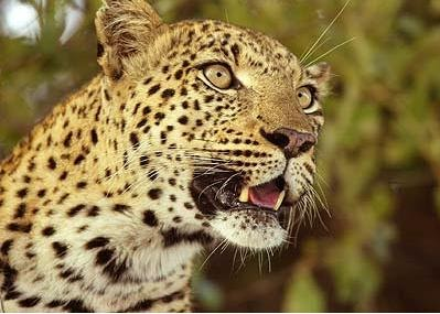 Oloxala (Fusion of African Descendants): Types of Leopards