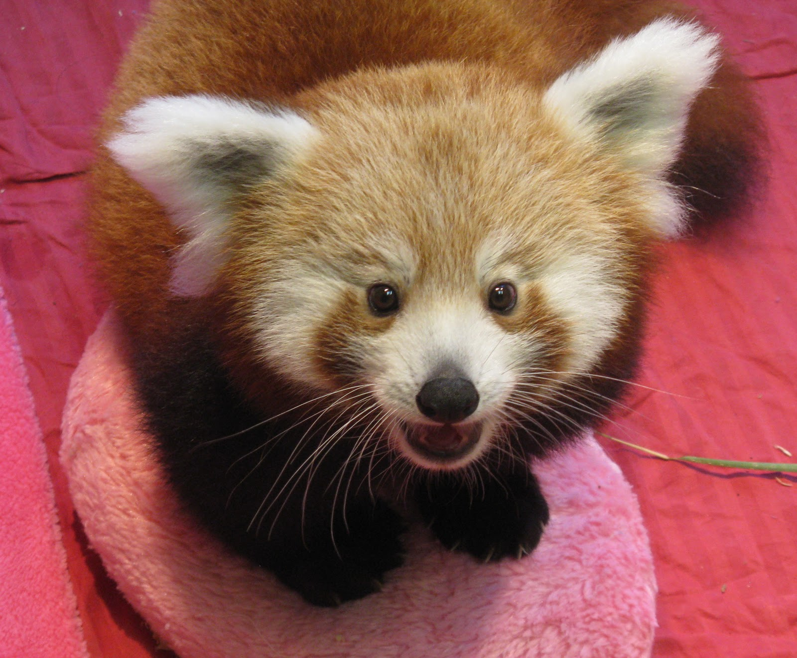 cute baby red pandas - photo #9