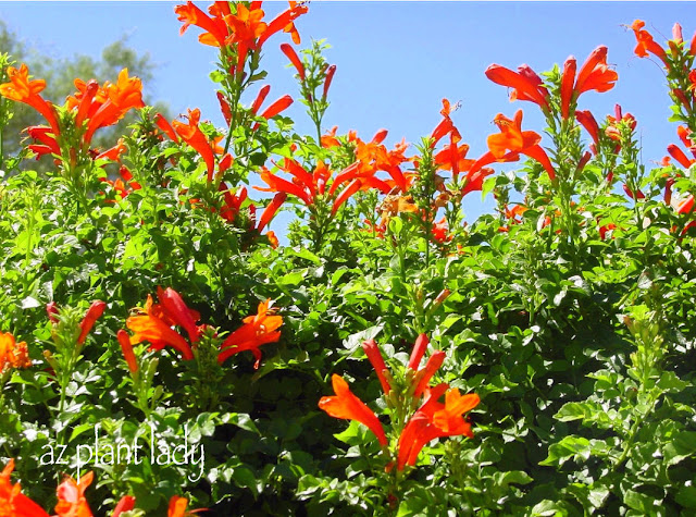 Ramblings From A Desert Garden Flowering All Year Long