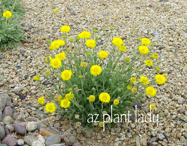 RAMBLINGS FROM A DESERT GARDEN....: Wildflower Wednesday