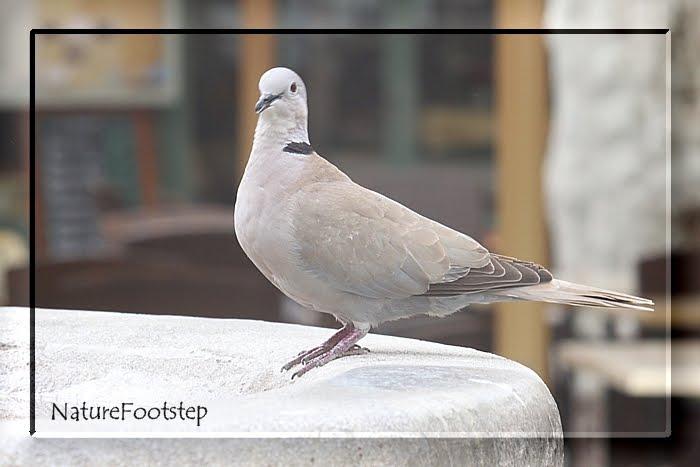NF Birds Blog: Turkduva