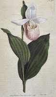 Minnesota Lady Slipper