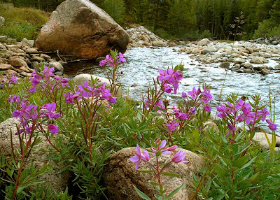 Purple flower river