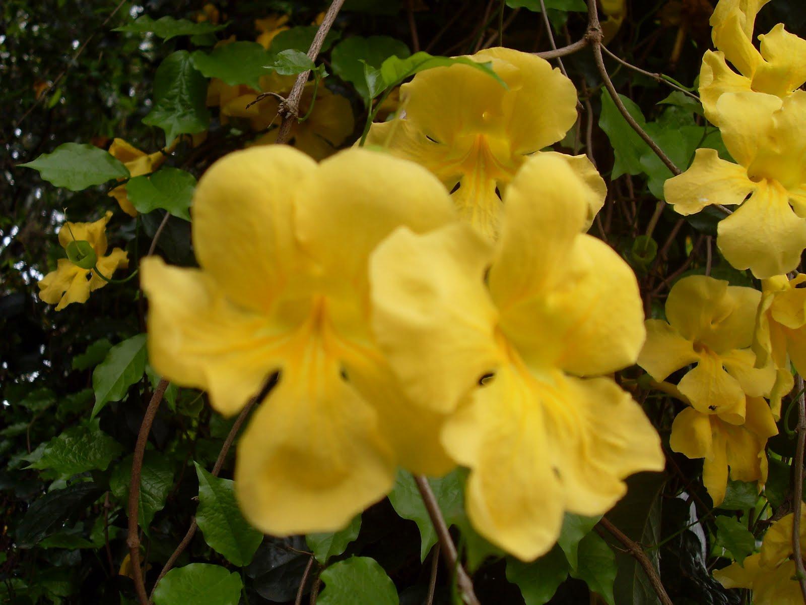 Kanishkas Blog Yellow Beauties Of University Of Peradeniya