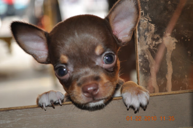 chocolate chihuahua puppy sarylin emily kennel chocolate chihuahua puppies for sale 1630