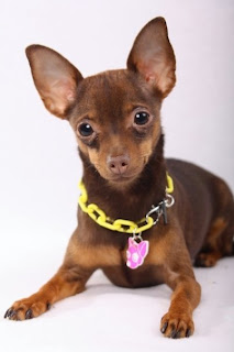 Bark Sniff Drool Blog Ever Wonder What The Difference Between A Apple Head Chihuahua Amp A Deer