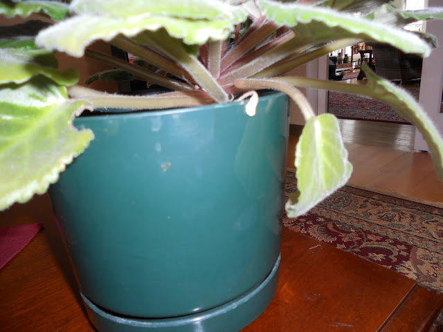Remove dead African violet leaves