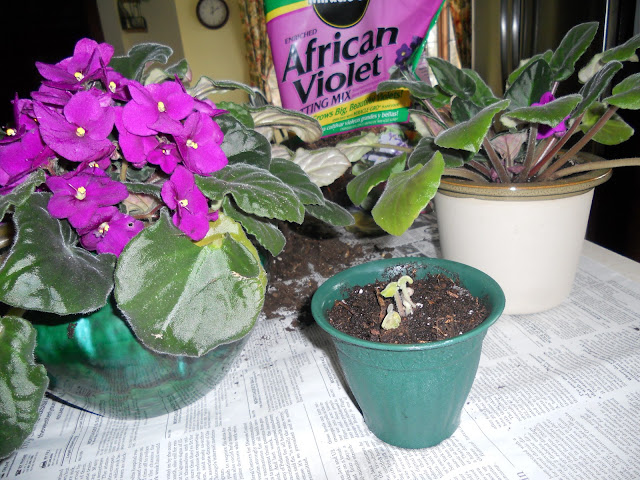 Repotted African violets