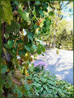 hops on the vine in autumn photo image
