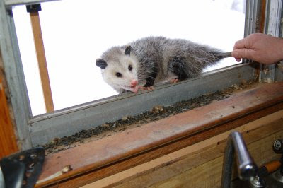 Possum in the window 3