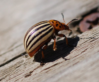 Colorado potato beetle, side view