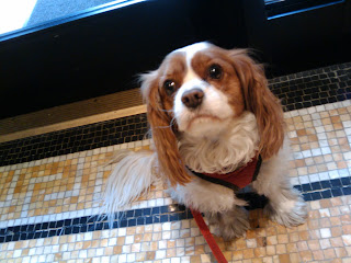 King Charles Cavalier Spaniel, Union Sq