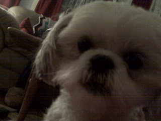 Up close and personal with maltese shih tzu mix, chelsea, nyc