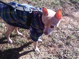 Chihuahua braving January chill, Stuyvesant Town, NY
