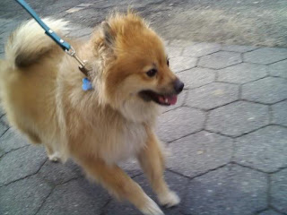 A happy Pomeranian near Tompkins Square