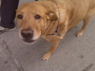 Golden retriever smiles on Washington square north, nyc