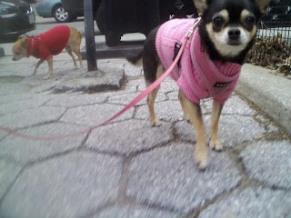 Pair of chihuahuas in the east village