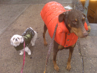 Doberman + Maltzu toughing out the snow! Chelsea, NYC