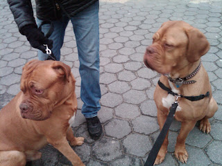 Two French Mastiffs / Dog De Bordeauxs meet on Little West St, NYC