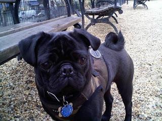 Pug in union sq dog run.