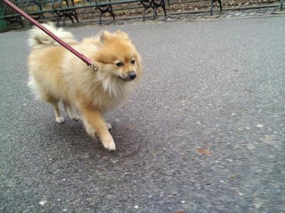 Pomeranian in Tompkins Square