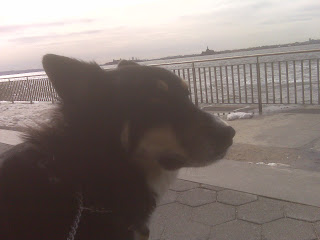 Dog watches ferry go by, hudson river park, nyc