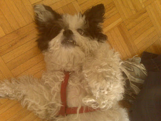 Cute dog asks for a belly rub after a walk, battery park city, nyc