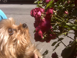Yorkie stops to smell the roses, west village, nyc