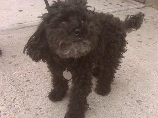 Happy poodle, west village, nyc