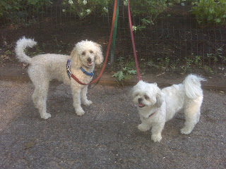 Poodle & maltzu at the park, nyc