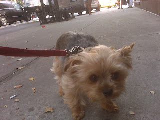 Little dog in the big city, yorkie, west village, nyc