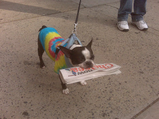 Dog carrying a newspaper home, chelsea, nyc