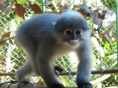 Les primates en danger 1