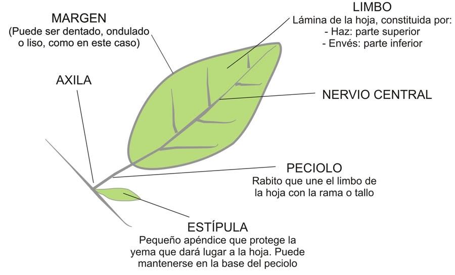 El rbol de pedro las hojas y partes de una hoja for Cuales son las partes de un arbol