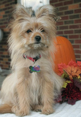 yorkie pomeranian mix miniature yorkshire terrier the daily puppy 4144
