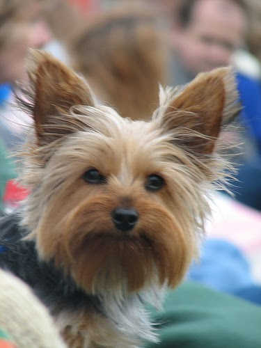 Miniature Yorkshire Terrier Cataracts And The Yorkshire